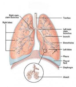 anatomi-saluran-nafas-263x300