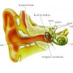Telinga sebagai alat pendengaran