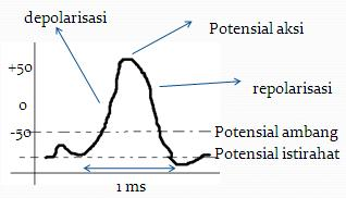 depolarisasi Fisika Kesehatan   Biolistrik