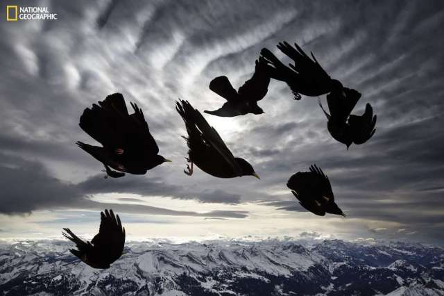 12_burung hitam